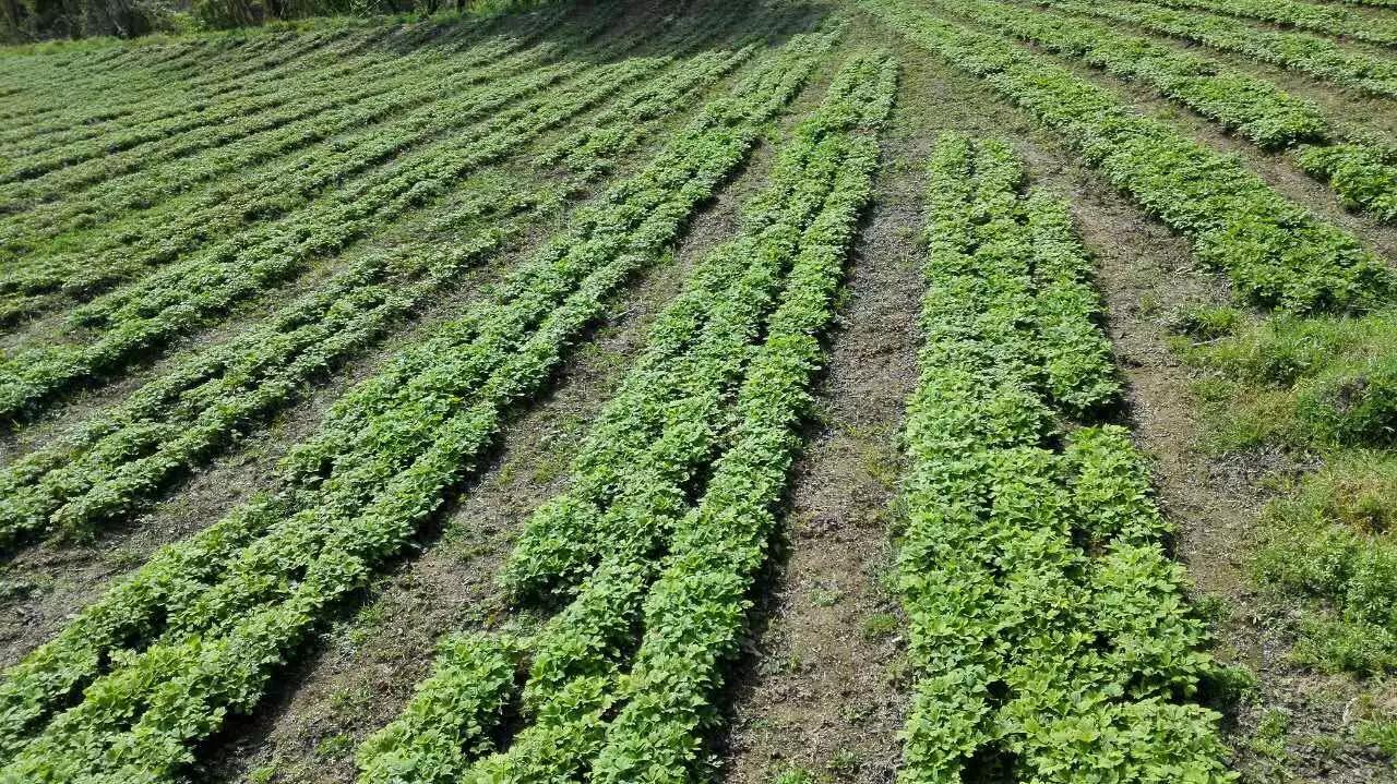 油牡丹种苗种植投资要谨慎